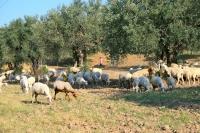 Vedi album Allevamento pecore razza Sarda